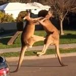 Aquí no hay nada que ver, solo un par de canguros dándose hostias en plena calle